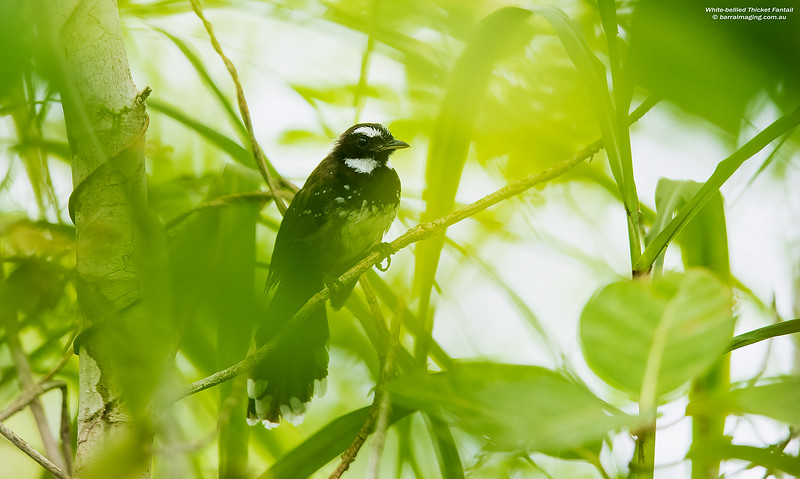 White-bellied Thicket Fantail