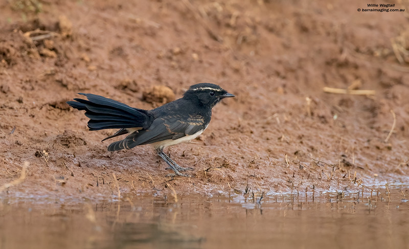 Willie Wagtail immature