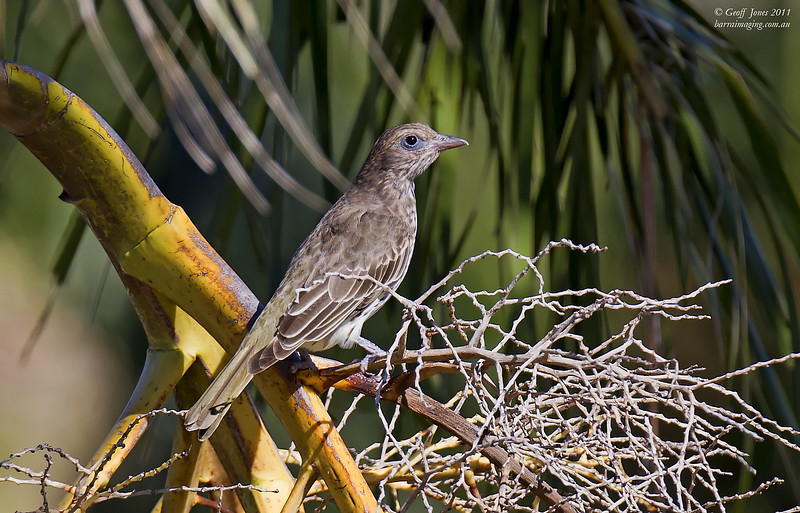 Australasian Figbird female
