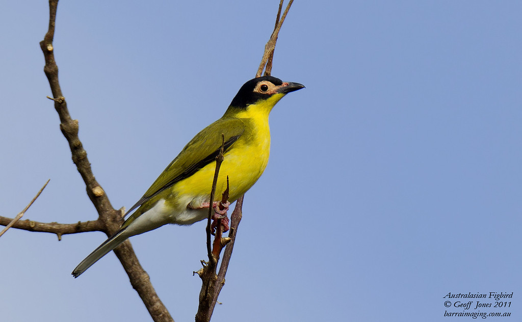 Australasian Figbird male