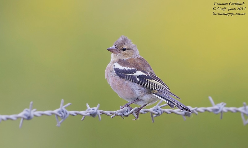 Common Chaffinch female