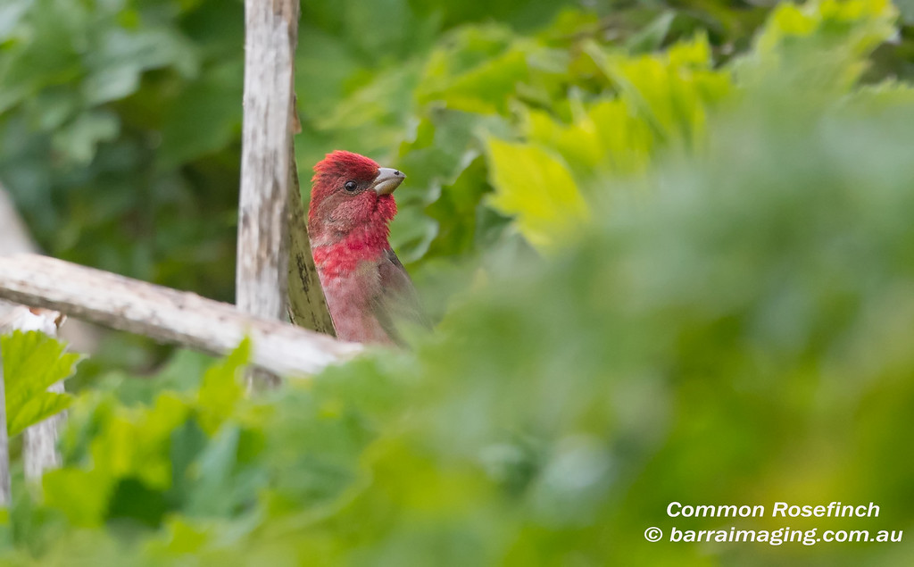 Common Rosefinch male