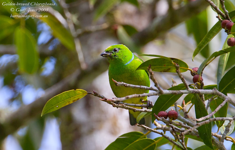 Golden-browed Chlorophonia fmale