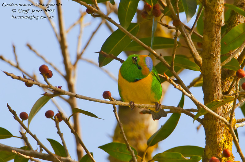 Golden-browed Chlorophonia male