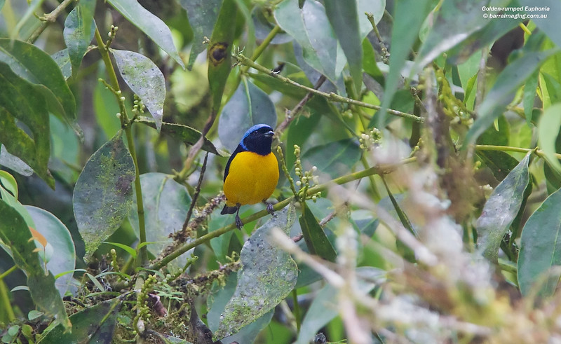 Golden-rumped Euphonia male