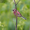 Long-tailed Rosefinch male