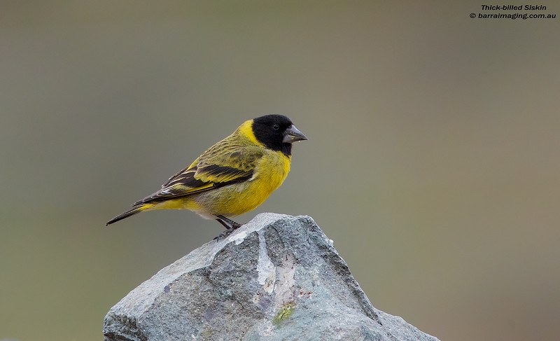 Thick-billed Siskin male