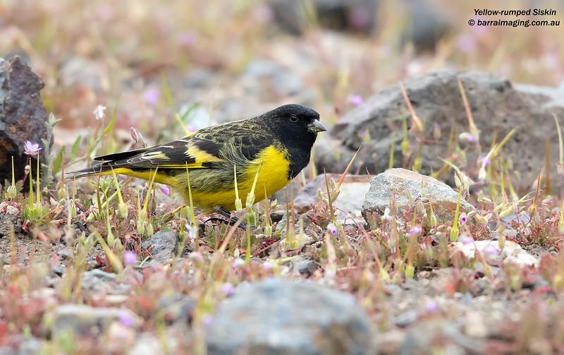 Yellow-rumped Siskin male