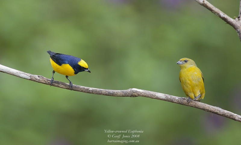Yellow-crowned Euphonia male & female