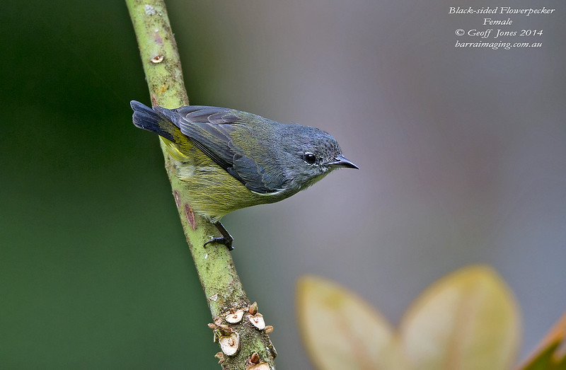 Black-sided Flowerpecker female