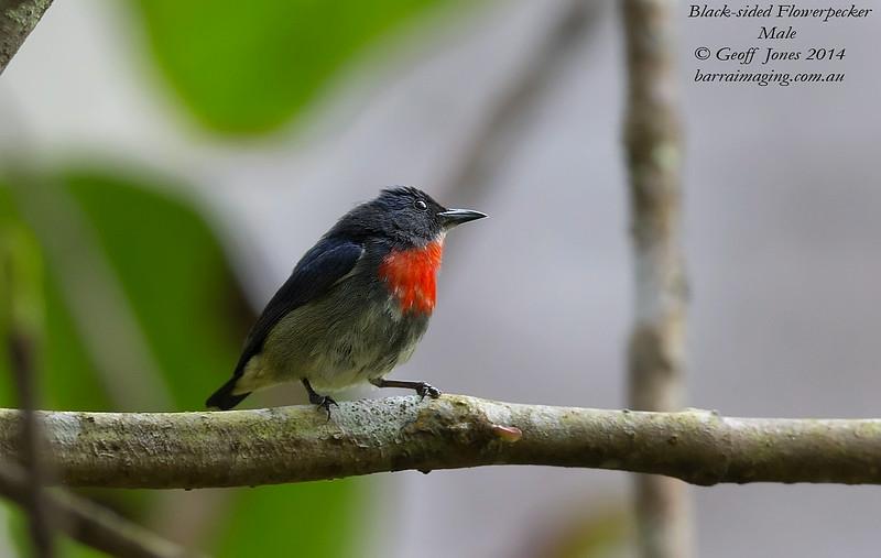 Black-sided Flowerpecker male
