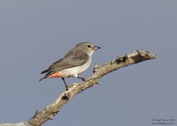 Mistletoebird female