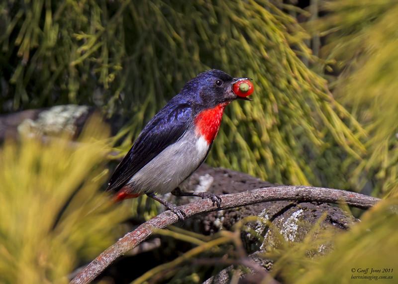 Mistletoebird male