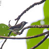 Mottled Flowerpecker Dicaeum tristrami Makira Island Solomons March 2009 SOL-MOFP-01