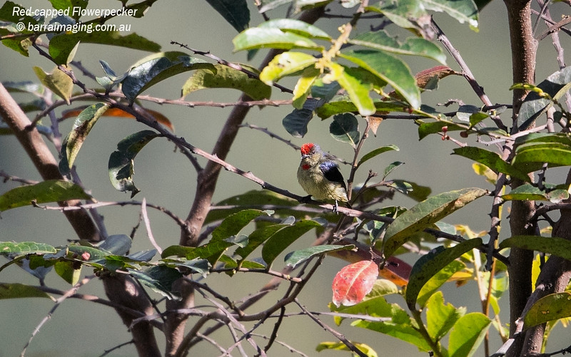 Red-capped Flowerpecker