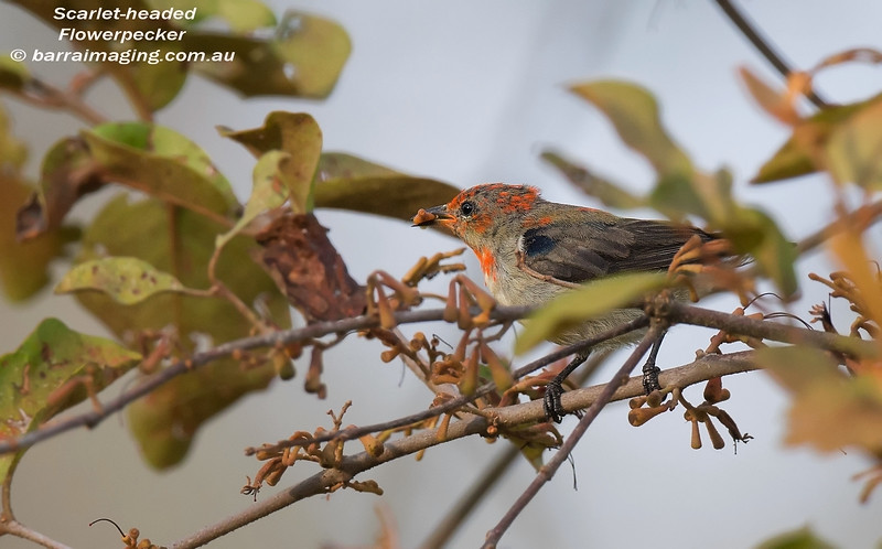 Scarlet-headed Flowerpecker immature