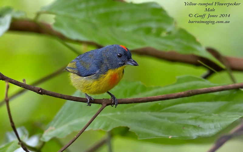 Yellow-rumped Flowerpecker male