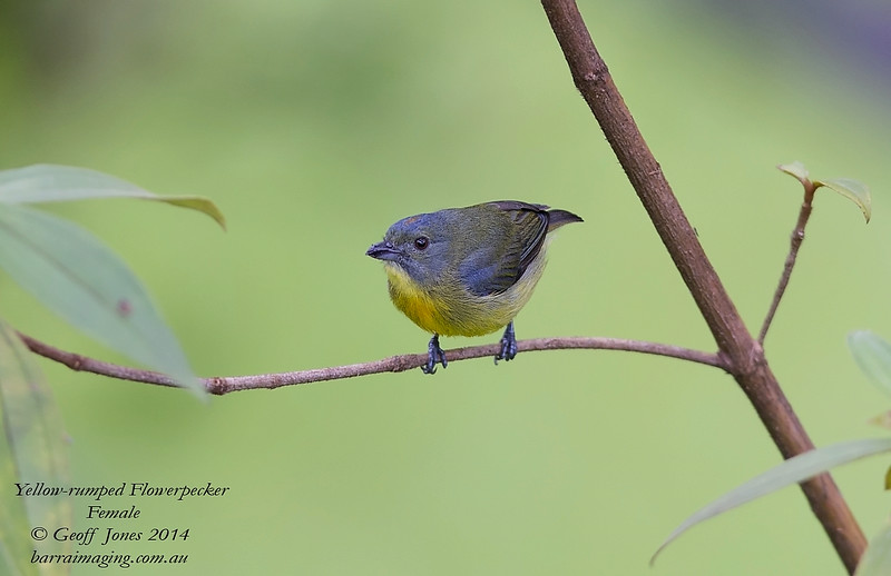 Yellow-rumped Flowerpecker female