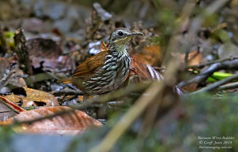 Bornean Wren-Babbler