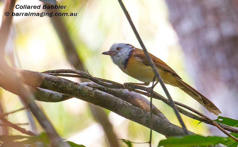 Collared Babbler