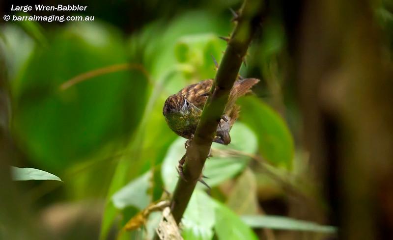 Large Wren-Babbler