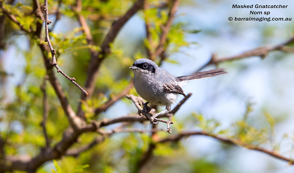 Gnatcatchers Family Polioptilidae