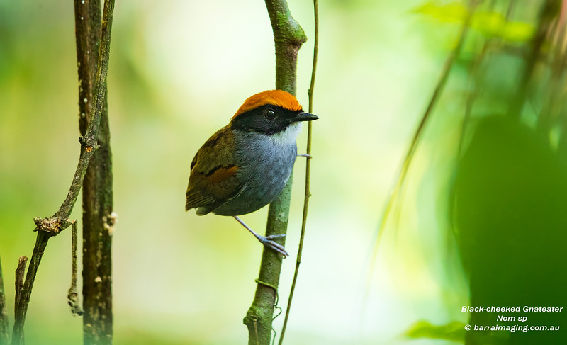Black-cheeked Gnateater male