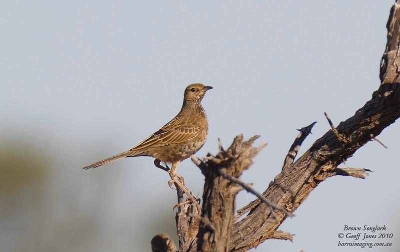 Brown Songlark male