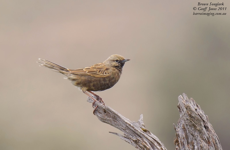 Brown Songlark male