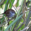 Javan Bush Warbler