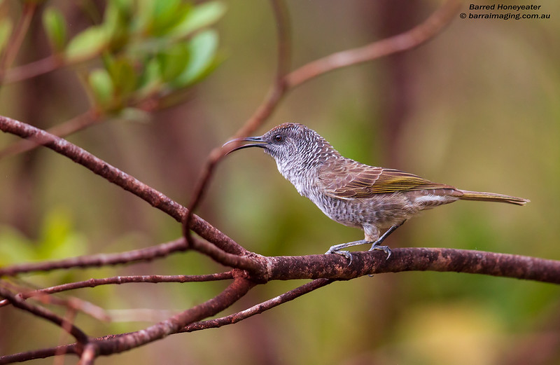 Barred Honeyeater