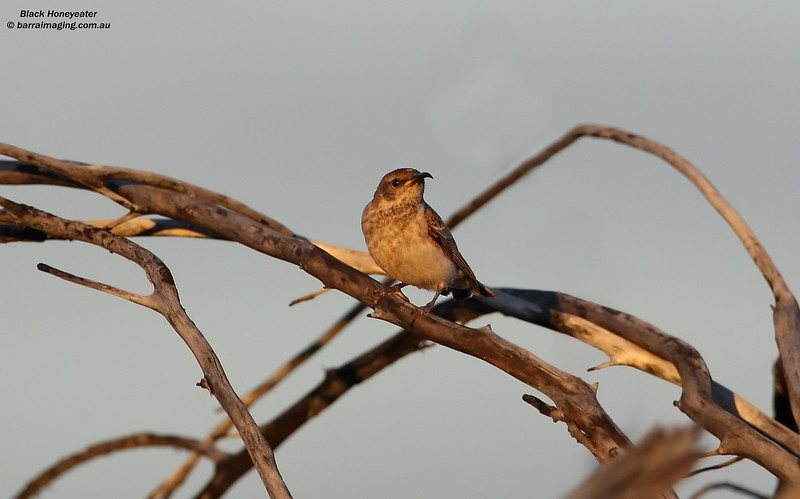 Black Honeyeater female