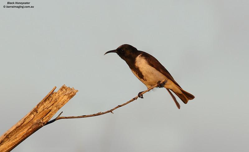 Black Honeyeater male