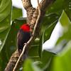 Cardinal Myzomela