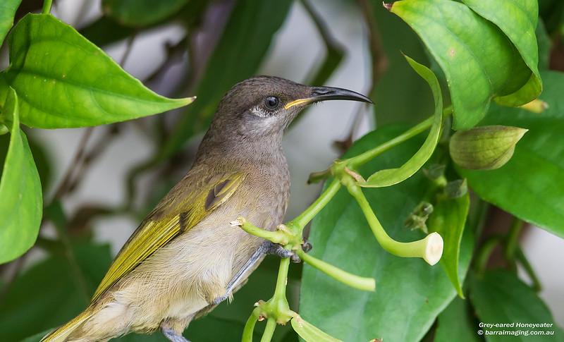 Grey-eared Honeyeater