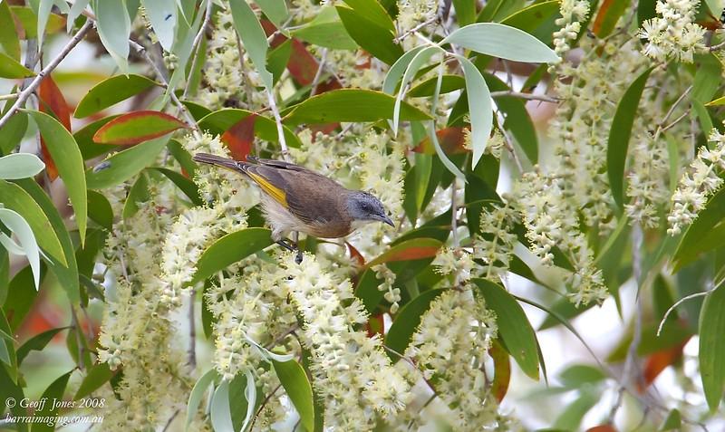 Rufous-banded Honeyeater