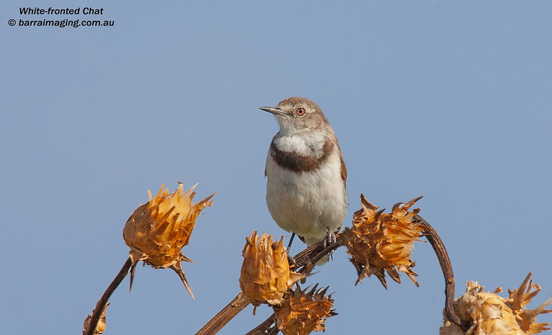 White-fronted Chat female