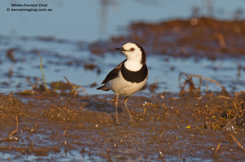 White-fronted Chat male