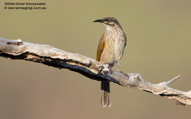 White-lined Honeyeater