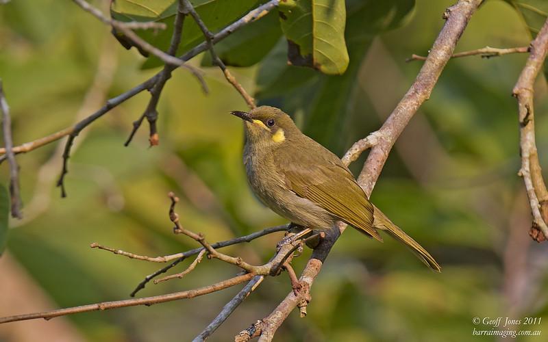 Yellow-spotted Honeyeater