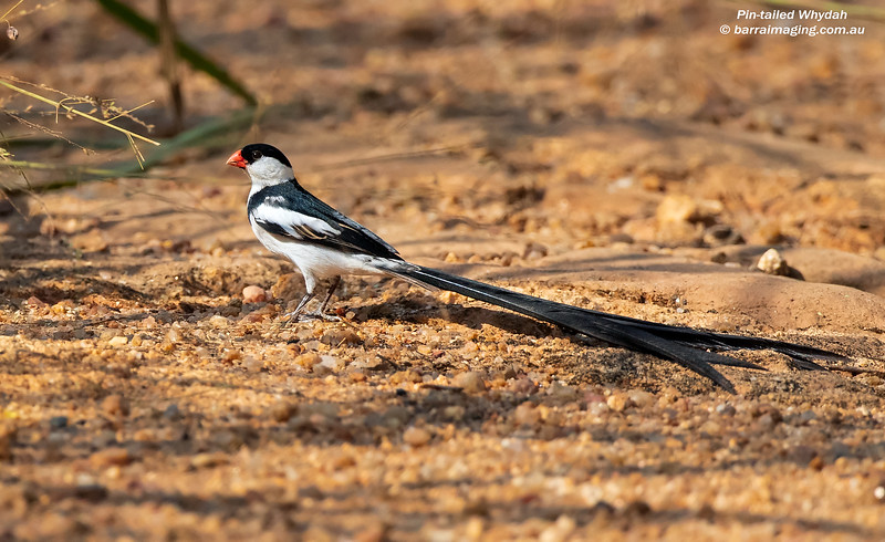 Pin-tailed Whydah breeding plumage