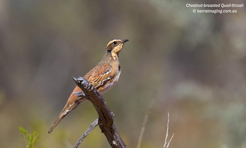 Chestnut-breasted Quail-thrush female