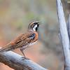 Chestnut-breasted Quail-thrush male