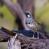 Spotted Quail-thrush male