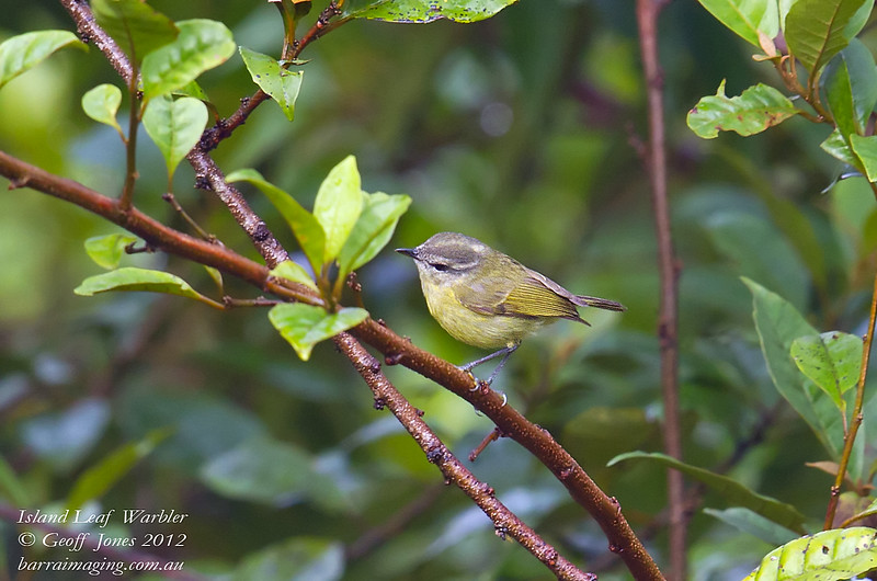 Island Leaf Warbler Phylloscopus poliocephalus Rondon Ridge PNG August 2012 PNG-ILWA-01