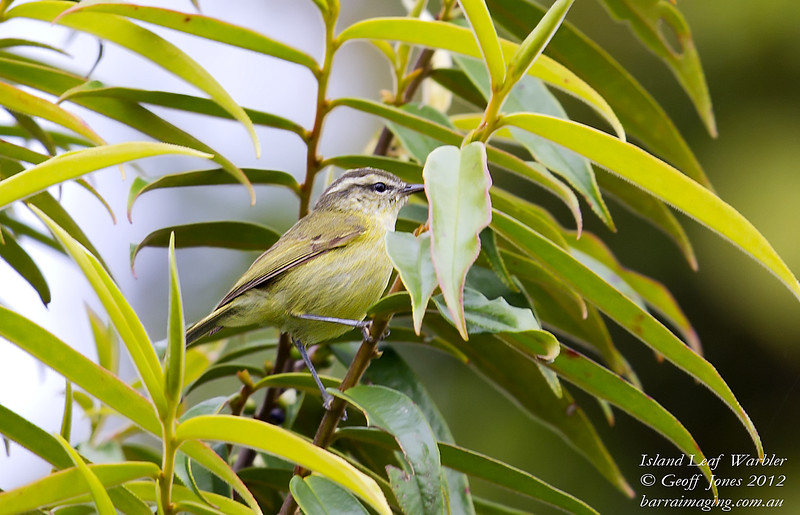 Island Leaf Warbler Phylloscopus poliocephalus Rondon Ridge PNG August 2012 PNG-ILWA-02