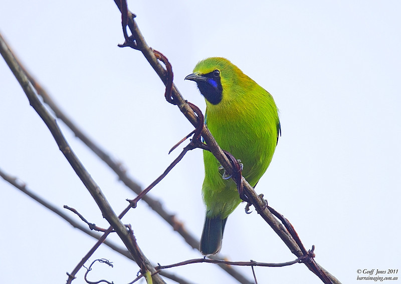 Blue-winged Leafbird male