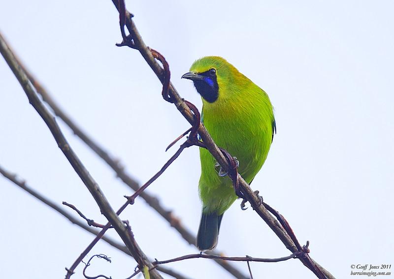 Blue-winged Leafbird male