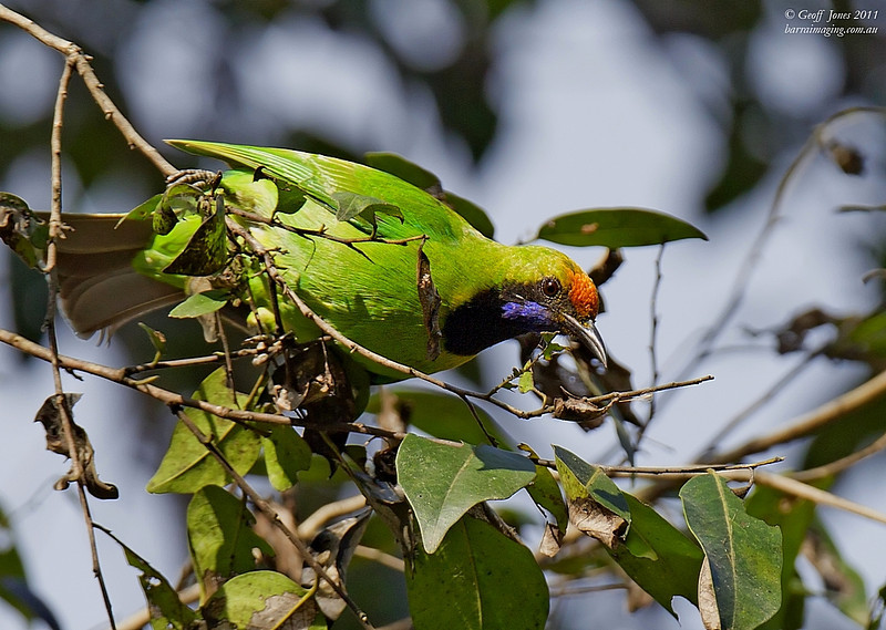 Golden-fronted Leafbird male