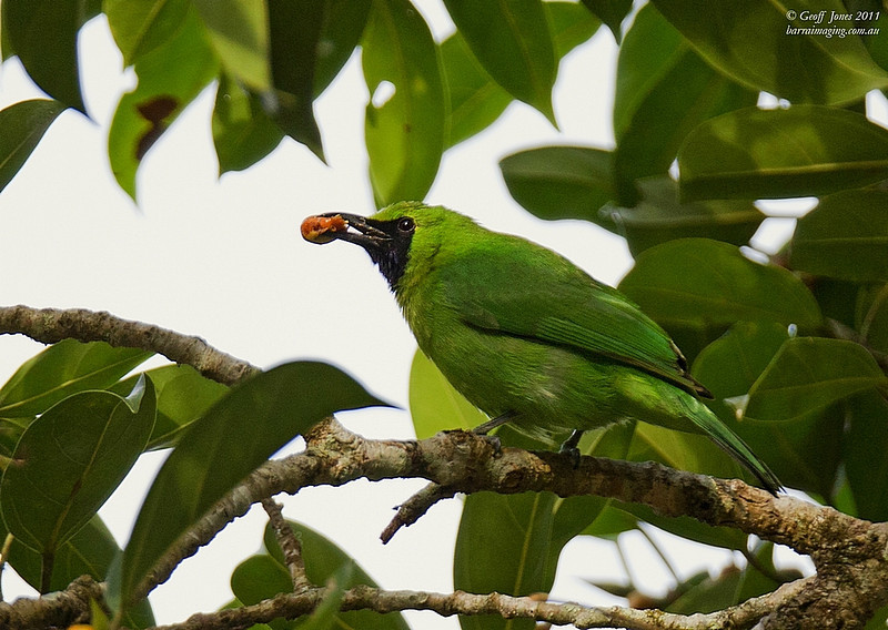Greater Green Leafbird male